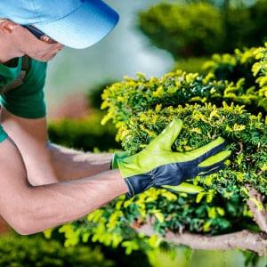 Homme s'occupant de l'entretien d'arbuste