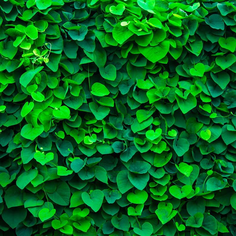 Mur végétal d'intérieur réalisé avec feuillage vert